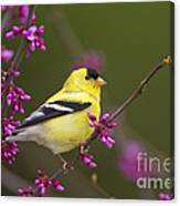 American Goldfinch In Redbud Canvas Print