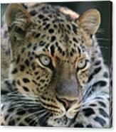 Amur Leopard #2 Canvas Print