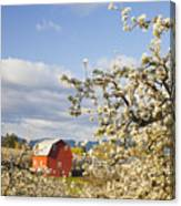 Apple Blossom Trees And A Red Barn In Canvas Print