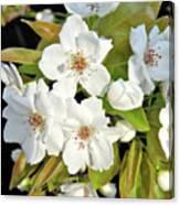 Apple Blossoms 0936 Canvas Print