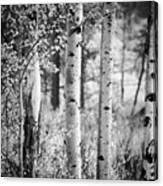 Aspen Trees In Black And White Canvas Print