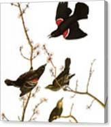 Audubon: Blackbird, (1827) Canvas Print