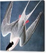 Audubon: Tern Canvas Print