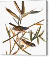 Audubon: Vireo Canvas Print