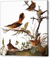 Audubon: Wren Canvas Print