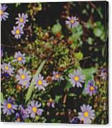 Australian Burr Daisies Canvas Print