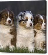 Australian Shepherd Puppies Canvas Print