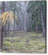 Autumn Coniferous Forest In The Morning Mist Canvas Print