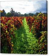 Autumn Vineyard In The Morning  Canvas Print