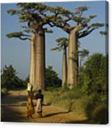 Avenue Des Baobabs Canvas Print