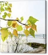 Backlit Poplar Leaves Canvas Print