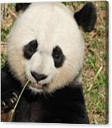 Bamboo Sticking Out Of The Mouth Of A Giant Panda Bear Canvas Print