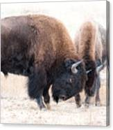 Battle Of The Bison In Rut Canvas Print