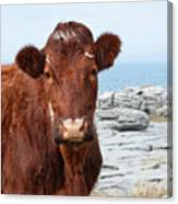Beautiful Brown Cow On The Burren In Ireland Canvas Print