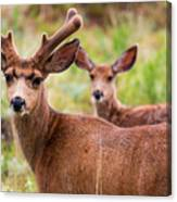 Beautiful Mule Deer Herd Canvas Print