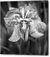 Bellevue Botanical Garden Iris 6402 Canvas Print