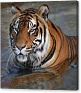 Bengal Tiger Laying In Water Canvas Print