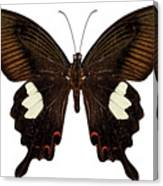 Black And Brown Butterfly Species Papilio Nephelus Canvas Print