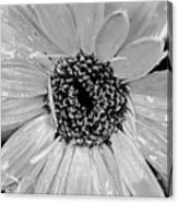Black And White Gerbera Daisy Canvas Print