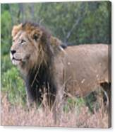 Black Maned Lion Canvas Print