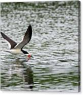Black Skimmer Fishing Canvas Print