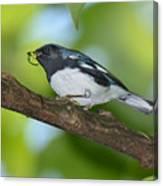 Black-throated Blue Warbler Canvas Print