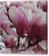 Blooming Pink Magnolias Canvas Print