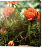 Blossomed Canvas Print