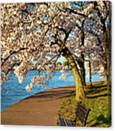 Blossoming Cherry Trees Canvas Print