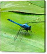 Blue Dragonfly On Lily Pad Canvas Print