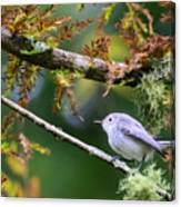 Blue-gray Gnatcatcher In Conifer Canvas Print