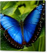 Blue Morpho Canvas Print