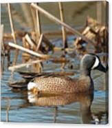 Blue Winged Teal Canvas Print