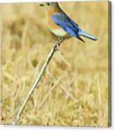 Bluebird In February Canvas Print