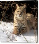 Bobcat In The Snow. Canvas Print