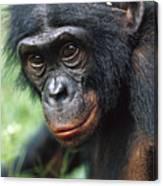 Bonobo Pan Paniscus Portrait Canvas Print