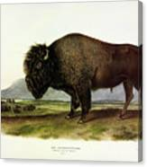 Bos Americanus, American Bison, Or Buffalo Canvas Print