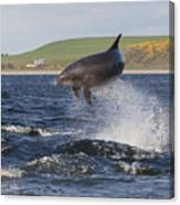 Bottlenose Dolphin - Scotland  #14 Canvas Print