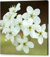 Bradford Pear Flower Canvas Print