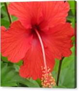 Bright Red Hibiscus Canvas Print