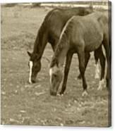 Brown Horses Grazing Canvas Print