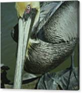 Brown Pelican At The Dock Of The Bay Canvas Print