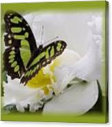 Butterfly On White Canvas Print