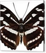 butterfly species Athyma reta moorei Canvas Print