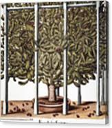 Cactus: Opuntia, 1613 Canvas Print