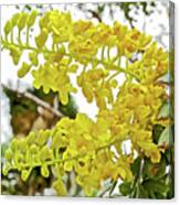 Caesalpinia Cacalaco In Huntington Desert  Gardens In San Marino-california  Canvas Print