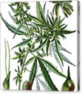 Cannabis Sativa Canvas Print