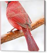 Cardinal Male In Winter Canvas Print