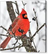 Cardinal Red Canvas Print