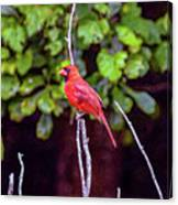 Cardinal Twigging A Break Canvas Print